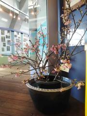 琉球寒緋桜3