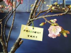 琉球寒緋桜2