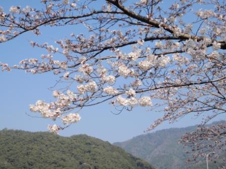 桜前線Ⅵ-4