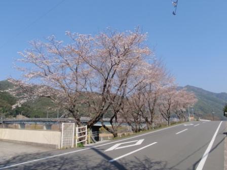 桜前線Ⅵ-2