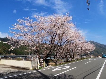 桜前線Ⅶ-2