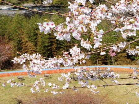 桜前線Ⅷ-1