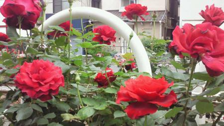 大塚駅周辺 都電沿いのバラ
