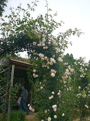 成田、佐原バラ(2009月6年3日)29