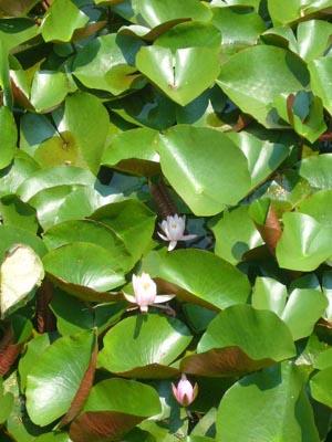 佐原水生植物園(2009年6月27日)7