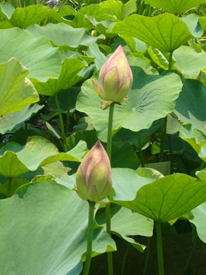 佐原水生植物園(2009年6月27日)9