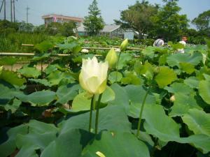 佐原水生植物園(2009年6月27日)10