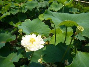 佐原水生植物園(2009年6月27日)11