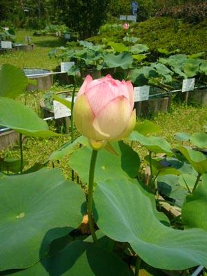 佐原水生植物園(2009年6月27日)12