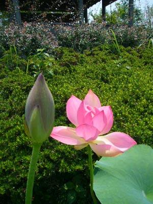 佐原水生植物園(2009年6月27日)13