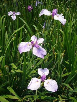 佐原水生植物園(2009年6月27日)34