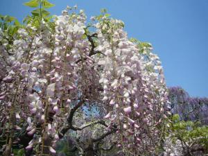 足利フラーパーク、浅草(2010年5月3日)24