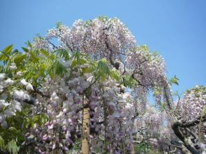 足利フラーパーク、浅草(2010年5月3日)26