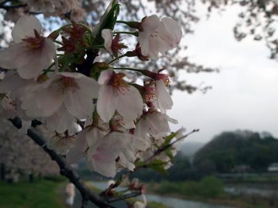 今年の桜もピーク