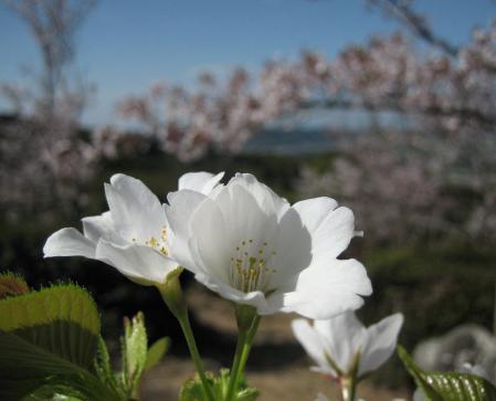 白い桜20110407153339a03s