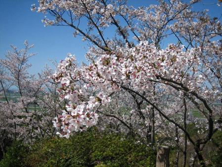 清水の桜 004