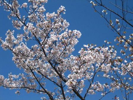 清水の桜 027