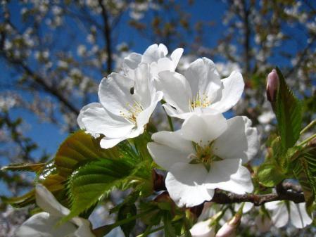 清水の桜 001