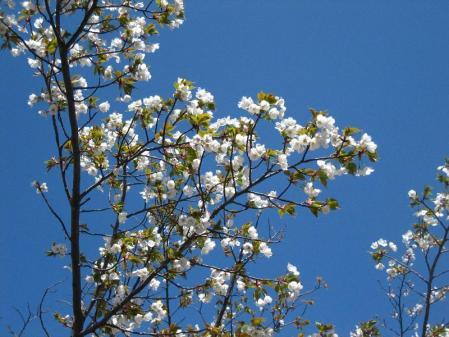 清水の桜 026