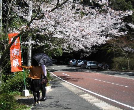 清水の桜 178