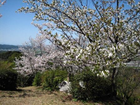 清水の桜 007