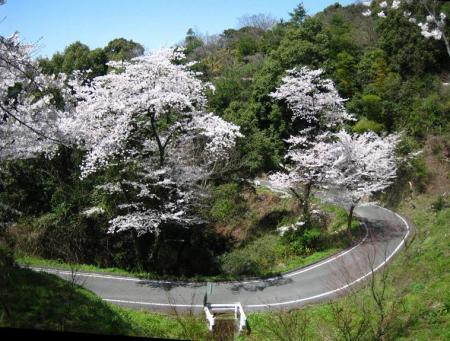 清水の桜 114