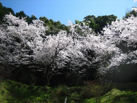清水の桜 109