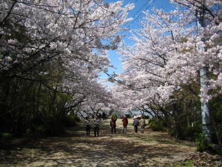 清水の桜 064