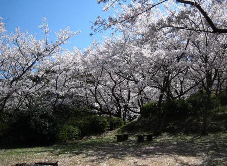 清水の桜 040