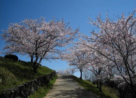 清水の桜 153