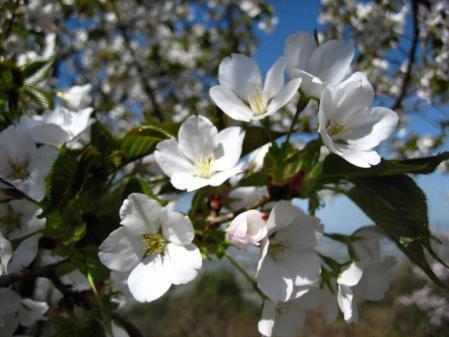 清水の桜 003