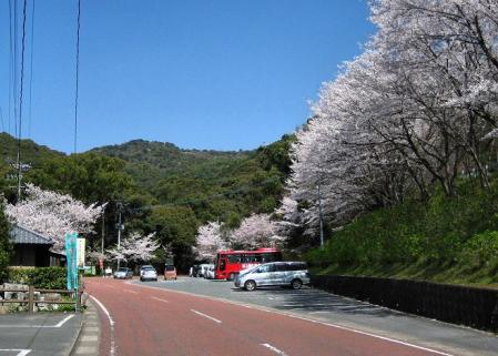 清水の桜 180