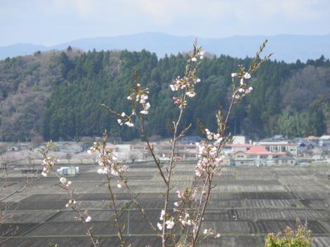 1年目の桜