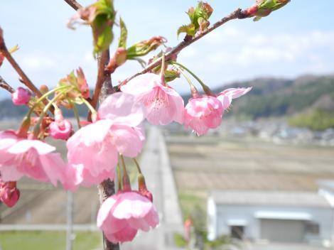 1年目の桜2