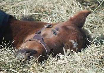 2・仔馬・寝顔