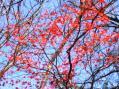 紅葉の楓・諏訪神社2009秋その1