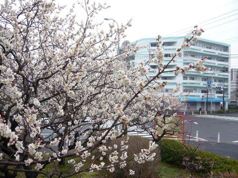 P1140222梅が盛り団地の公園