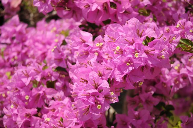 インタンのピンクの花