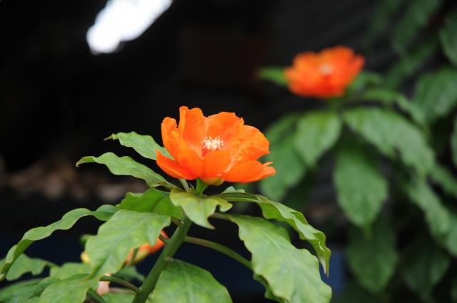 ハジャイの橙の花