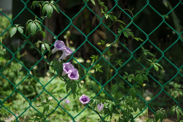 フェンスに咲く花