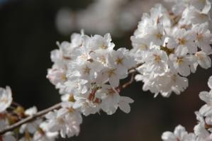 11春の花03