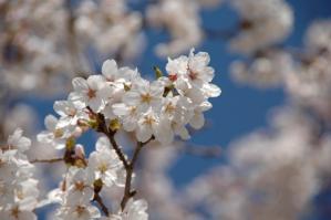 11春の花01