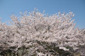 11春の花09