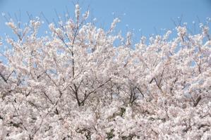 11春の花08