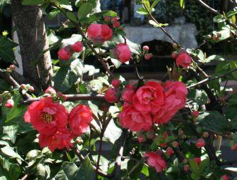 ボケの花のアップ
