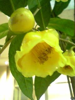 金花茶100302_1859~01