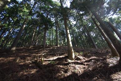 札掛の人工林