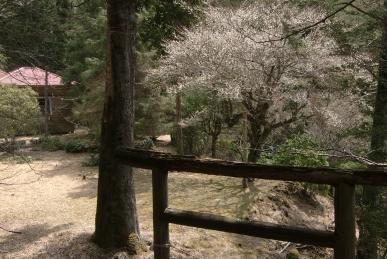 ユーシン山荘と桜