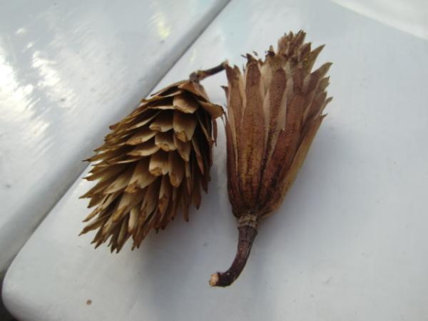 ユリの木の実