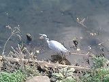 大岡川の鳥